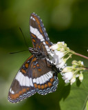papillon_et_mite__butterfly_and_moth