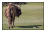 Monts d'Azur 2017 - Beau bison d'Europe - 3282