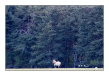 Monts d'Azur 2017 - Etalon de Przewalski devant la forêt - 9485