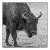 Monts d'Azur 2017 - Bison d'Europe N&B - 3060