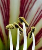 Amaryllis Pollen