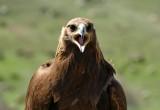 Golden Eagle - Kyrgyzstan