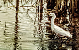 Great American Egret on the Hunt