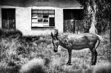 Carrizozo Donkey