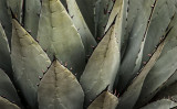 The Agaves