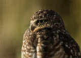 Those Burrowing Owls