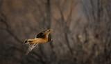 Harrier a.k.a. Marsh Hawk