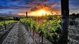 Spring Grape Vines at Sunset