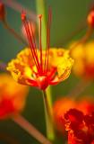 Scientific name: Ceasalpinia pulcherrima. Ohai ali'i is the Hawaiian name.