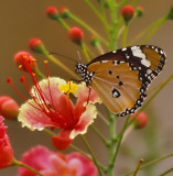 Butterfly on Ceasalpinia pulcherrima