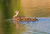 Leading Her Ducklings