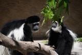 Kikuyu Colobus Monkey