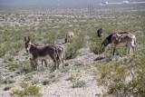 Wild Burros - Amargosa Desert