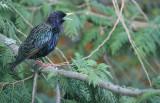 17 mr starling