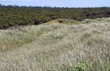 19 behind the dunes, a shore pine forest