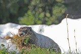 14 marmot