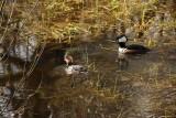 Miscellaneous Water Birds