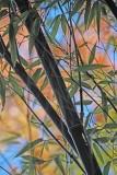 2018 Fall Bamboo