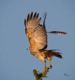 Red-shouldered Hawk-4875.jpg