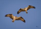 Osprey Pair-2959.jpg