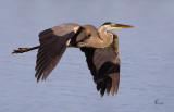 Blue Heron-2426.jpg