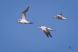Royal Terns-3872.jpg