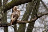 Rain-soaked Red-tailed Hawk