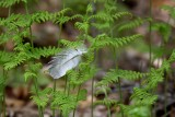 Feather in Ferns