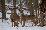 Winter Whitetail Yearlings