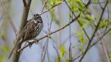 Song Sparrow.jpg