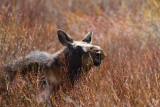 Yearling Moose in the Willows.jpg