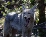 Yawning Coyote.jpg