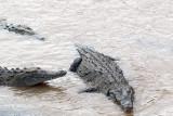 Crocodiles in the River.jpg