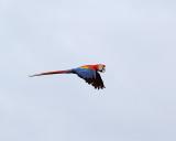 Flying Macaw.jpg