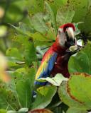 Macaw Eating Fruit.jpg