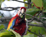 Macaw Eating.jpg