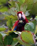Macaw in the Leaves.jpg