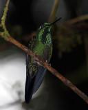 Green Hummingbird on Branch Vertical.jpg