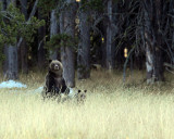 Grizzly Standing.jpg