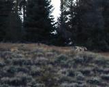 Moose Wilson Wolves.jpg