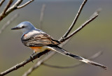 Scissortailed Flycatcher