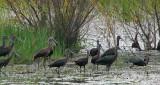 Glossy and Plegadis Ibis