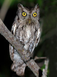 Eastern (McCall's) Screech-Owl