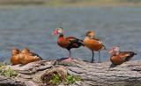 Fulvous and Black-bellied Whistling-Ducks