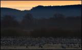 Cranes (tranor) before sunrise - Hornborgasjön Sweden