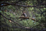 Male Capercaillie feeding on pine needles - Uppland