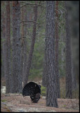 Capercaillie on a pine lekking place - Uppland