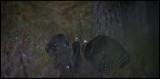 Fighting Capercaillies in deep Labrador tea vegetation