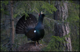 Capercaillie display on an anthill - Uppland
