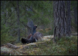 Capercaillie on lekking place - Uppland
